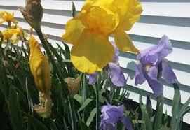 5 iris bulbs bearded iris mixed iris rhizomes live iris