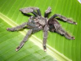 Do Tarantulas Shed Their Legs by Blog Reptiles Amphibians U0026 Invertebrates
