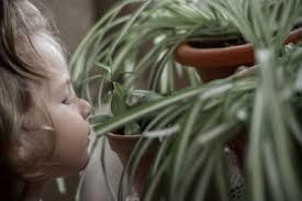 pflanzen im kinderzimmer grünlilie kinder zimmer