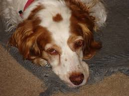 Welsh Springer Spaniel Shedding by New Puppy 7 Things I Wish I U0027d Known Ahead Of Time