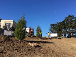 Christmas Tree Species Nz by Planting For 50 Donated Alamo Square Trees Breaks Ground Hoodline