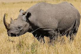 Black Rhino Extinct In West Africa New Red List