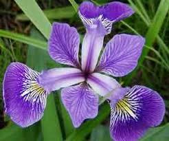 high quality iris bulbs for sale