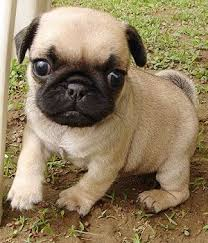 Non Shedding Dog Breeds Small by Small Hypoallergenic Dog Breeds Pug Breed Info Pictures