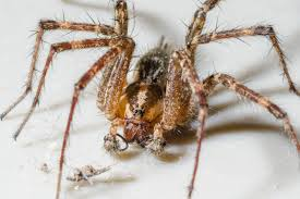 Spiders At Spiderzrule - The Best Site In The World About Spiders ... Barn Spider Photography Nature Pinterest Update Spiders Still Dont Bite Arthropod Ecology Beneficial In The Landscape 49 Bana Nephila Tegenaria Domestica Wikipedia Grass Spiders At Spiderzrule Best Site World About Spiderlings Eat Mother Youtube Myths Burke Museum What Are Some Common Montana Animals Momme 7 Bug And Squashed National Geographic Society Blogs Neighbourhood Agriculture Food Molting