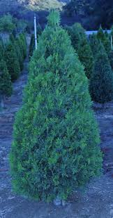 Leyland Cypress Christmas Tree Farm by 9 Best Fresh Christmas Trees Images On Pinterest Branches