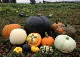 Chatham Kent Pumpkin Patches by Pumpkin Moon Pick Your Own Pumpkins Expired In Maidstone Friday Ad