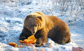Porcupine Eats Pumpkin by A U0027beary U0027 Fun Friday Critters Take Center Stage This Weekend Ak