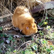 Pine Bedding For Guinea Pigs by Carma Poodale Ww What Is That In Our Guinea Pig U0027s Parts