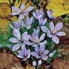 saffron fall crocus grow your own spice michigan bulb