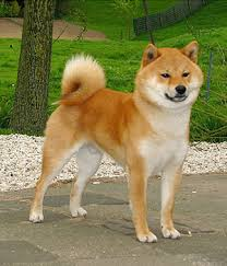 do shiba inus shed hair shiba inu history personality appearance health and pictures