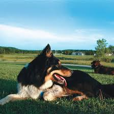 Best Guard Dogs That Dont Shed by The Best Guard Dog For Your Homestead Homesteading And Livestock