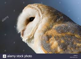 Barn Owl Or Screech Owl - Tyto Alba Stock Photo, Royalty Free ... White Screech Owl Illustration Lachina Bbc Two Autumnwatch Sleepy Barn Owl Yoga Bird Feeder Feast And Barn Wikipedia Attractions In Cornwall Sanctuary Wishart Studios Red Eastern By Ryangallagherart On Deviantart Owlingcom Biology Birding Buddies 2000 Best 2 Especially Images Pinterest Screeching Youtube