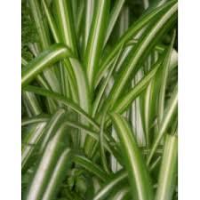 plantes vertes d interieur chlorophytum plante araignée achat vente plantes vertes d
