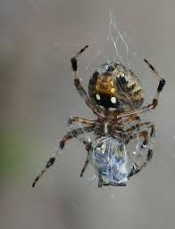 Spiders: The Not So Spooky Halloween Symbol - Metro Parks ... R2rustys Chatter September 2017 Ladybugs Backyard And Beyond Birdingand Nature Golden Silk Orb Weaver Spider In Bug Eric Sunday Black Yellow Argiope Glass Beetle By Falk Bauer A Backyard Naturalistinsects Ghost Spiders Family Anyphnidae Spidersrule C2c_wiki_silvgarnspider_hrw8q0m1465244105jpg Aurantia Wikipedia Two Views Sonoran Images Elephant Tiger Skin Spiny Blackandyellow Garden Mdc Discover Power Animal For October Shaman Amy Katz