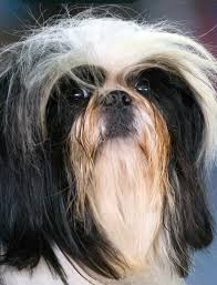My Lhasa Apso Is Shedding Hair by Difference Between A Shih Tzu And Lhasa Apso American Dog Blog