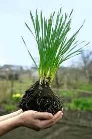 transplanting daffodil plants how to divide and transplant daffodils