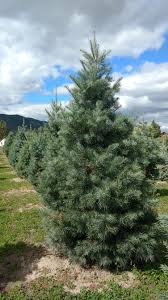 Canaan Fir Good Christmas Tree by Copenhaver Plantations Choose And Cut Christmas Trees In