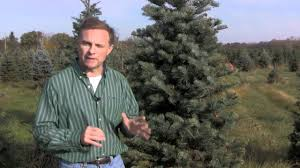 Christmas Tree Species For by Christmas Tree Species Concolor Fir Youtube