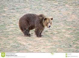 Download Grizzly Bear In Open Field Stock Image Of Hunting