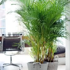 plus de 25 idées magnifiques dans la catégorie entretien palmier