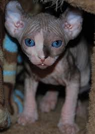 hairless cat price kittens sphynx cats nocoatkitty sphynx