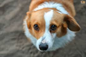 Why Do Puggles Shed So Much by Nova Scotia Duck Tolling Retriever Dog Breed Information Buying