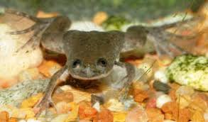 Should African Dwarf Frogs Shed by Faqs About African Dwarf Frogs In General 2