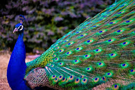 Beautiful Peacock Images Photos Wallpaper Download