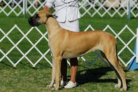 Cane Corso Mastiff Shedding by The Top 10 Biggest Dogs In The World Care Com Community
