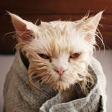 my cat has dandruff what can you do about cat dandruff catster