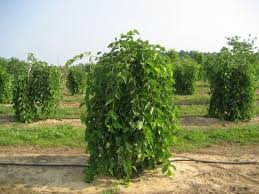 These Trees Are Available In Varieties One Which Bears Fruits While The Other Is Fruitless Mulberry Tree