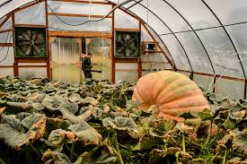 Pumpkin Patch Utah by Utah Pumpkin Growing Champion Tries To Beat His Own Record