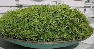 pleioblastus pygmaeus ou bambou nain tapissant pygmea lot 24 pots