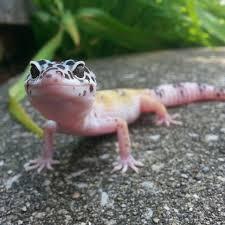 Crested Gecko Halloween Morph For Sale Uk by Leopard Gecko Morphs List Images Leopard Geckos Pinterest