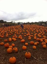 Bengtson Pumpkin Patch Homer Glen by Undley Pumpkin Patch Suffolk Uk We Go Here Ever Year Halloween