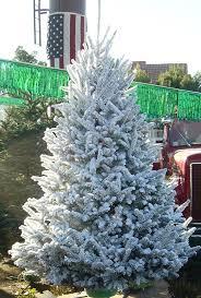 Frasier Christmas Tree Cutting by Deerbrooke Farm Photo Gallery Premium Christmas Tree Lot In Las