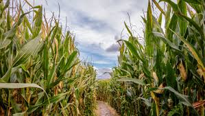 Pumpkin Patches Near Tallahassee Florida by A Family Left A Toddler In A Corn Maze And Didn U0027t Realize It Until