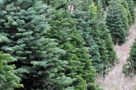 Leyland Cypress Christmas Tree Farm by Christmas Tree Farm Christmas Ideas