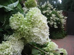 Osh Potted Christmas Trees by Limelight U0027 Hydrangeas Prized For Their Midsummer Flowers Hgtv