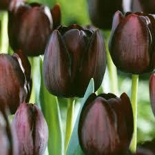 tulip black parrot 25 bulbs or buy in bulk bulbs