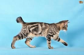 bobtail cat kurilian bobtail cat breed information buying advice photos and