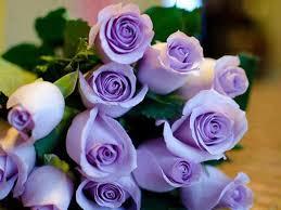 Purple Tia Happy Birthday Roses Desktop Flower