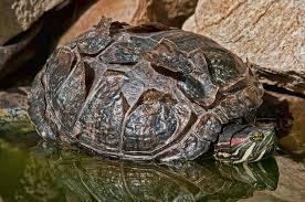 red eared slider turtle health infobarrel