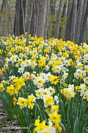 203 best daffodils images on garden bulbs and butterfly