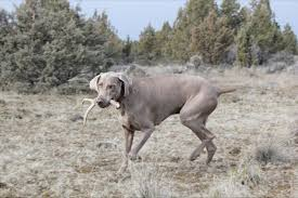 Do Long Haired Weimaraners Shed by Shed Hunting Weims U2026 Owyheestar Weimaraner U0027s News