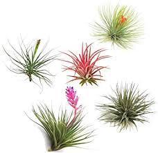 plant in a box 5er mix tillandsien luftpflanzen tillandsia zimmerpflanzen höhe 5 10cm
