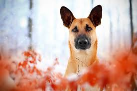 Best Mini Dogs That Dont Shed by Belgian Malinois Dog Breed Information Pictures Characteristics