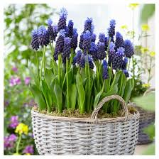 grape hyacinths latifolum set of 25 bulbs blue white