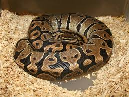 Ball Python Shedding Eating by Breeding Pictorial U2013 Markus Jayne Ball Pythons